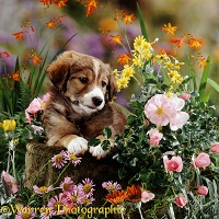 Border Collie pup with flowers