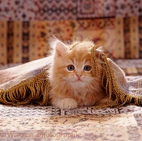 Ginger kitten under fringed cover