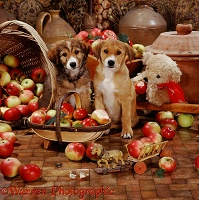 Border Collie pups with trug and apples