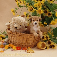 Border Collie pup in basket with teddy
