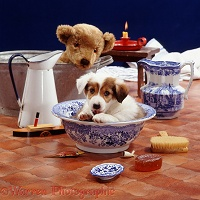 Border Collie pup in bathroom bowl