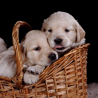 Golden Retriever pups in a basket