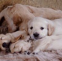 Golden Retriever pups, 1 month old