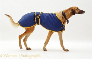 Lurcher in a raincoat