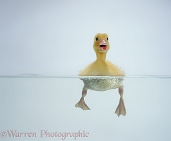 Yellow duckling swimming
