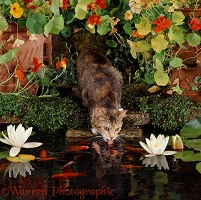 Tortoiseshell cat drinking from goldfish pond