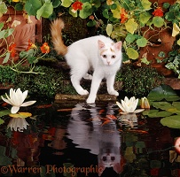 Turkish Van kitten trying to catch goldfish
