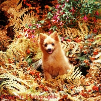 Pomeranian puppy in Autumn