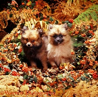 Pomeranian puppies in Autumn