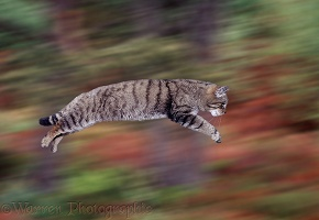 Wild cat leaping