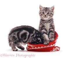 Silver tabby kittens with a woolly hat