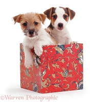 Jack Russell pups in a box