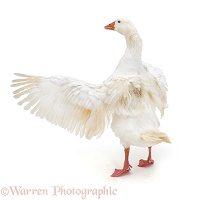 White goose flapping