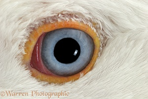 Eye of a domestic gander