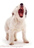 Border Collie pup yawning