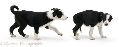 Healthy and sick Border Collie pups