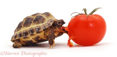 Young tortoise eating a tomato