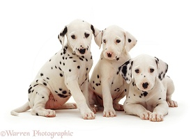 Trio of Dalmatian pups