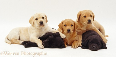 Colourful Labrador pups