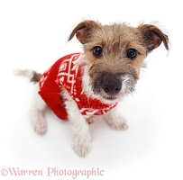 Jack Russell with Jersey on