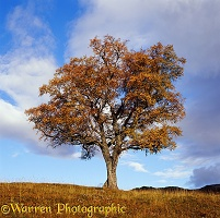 Autumnal Birch tree