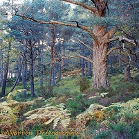 Ancient pine woods