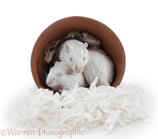 White gerbils sleeping in a flowerpot