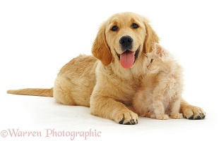Golden Retriever pup with golden kitten