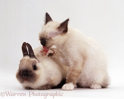 Birman kitten & dwarf rabbit