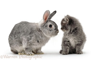 Grey Persian kitten with silver fox rabbit