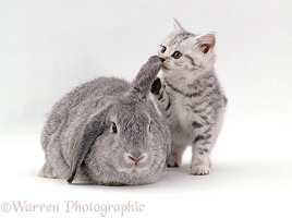 Silver spotted kitten and lop rabbit