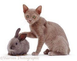 Blue kitten with blue rabbit