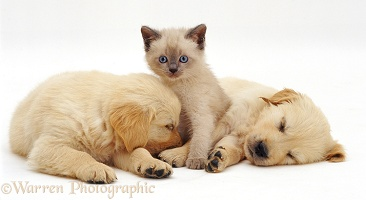 Kitten and retriever pups