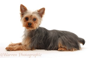 Yorkie lying with head up