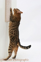 Bengal cat using a scratch-post