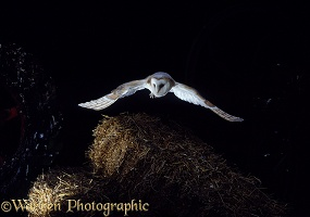 Barn Owl flying over straw bales