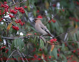 Waxwing on cotoneaster