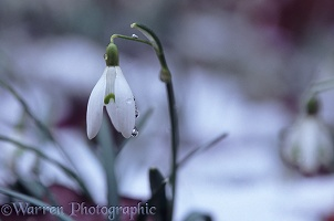 Snowdrop in melting snow