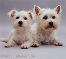 Westie and pup