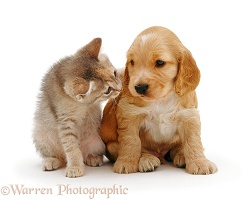 Cocker Spaniel pup with kitten