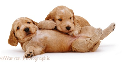 Two Golden Cocker Spaniel pups rolling