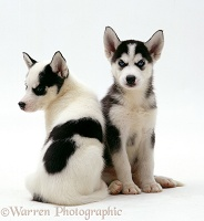 Siberian Husky pups, 6 weeks old