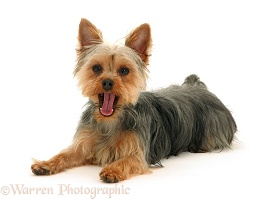 Yorkie lying with head up and yawning