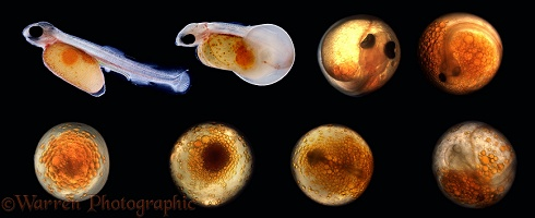 Development of Rainbow Trout egg