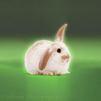 Windmill eared rabbit