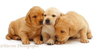 Trio of Labrador pups