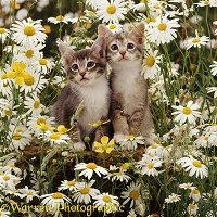 Burmese-cross kittens among meadow flowers