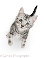 Silver tabby kitten looking up