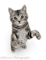 Silver tabby kitten standing and reaching up