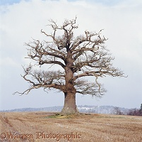 Ockley Oak - Winter 2004